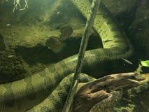 Anaconda. At Dallas Aquarium Stock Image