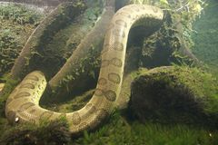 Anaconda eunectes murinus Stock Fotografie