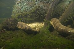 Anaconda eunectes murinus Royalty Free Stock Photo