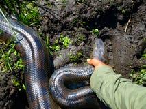 Anaconda. Found in marshes of Amazonia (Bolivia stock image