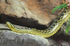 Anaconda giallo [notaeus del Eunectes] sulla roccia. Immagini Stock Libere da Diritti