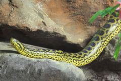 Anaconda jaune [notaeus d'Eunectes] sur la roche. Images libres de droits