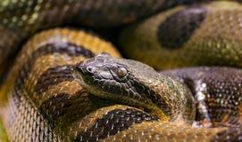 An anaconda is lying in wait. Anaconda is lying in wait stock photo