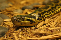 Anaconda. A picture of an anaconda snake slithering Stock Image