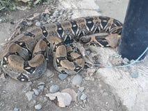 Anaconda serpiente. Anaconda reptil constriptora terrestre Stock Images
