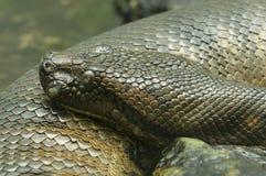 Anaconda snake. Of South America Eunectes murinus Stock Photos