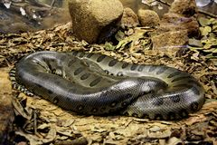 Anaconda snake coiled Royalty Free Stock Image