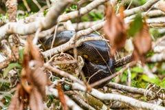 Anaconda Snake Cuyabeno Ecuador Royalty Free Stock Photo