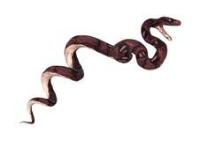 Anaconda Snake on White Stock Photography