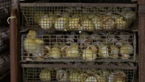 Anadón defectuoso entre cáscaras de huevo en la jaula metrajes
