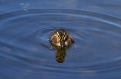 Anadón del pato silvestre Imagen de archivo libre de regalías