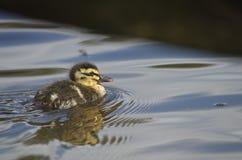 Anadón del pato silvestre Fotografía de archivo