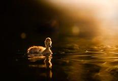Anadón en el agua de oro en la puesta del sol Imágenes de archivo libres de regalías