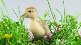 Anadón que se sienta en hierba verde con las flores almacen de metraje de vídeo