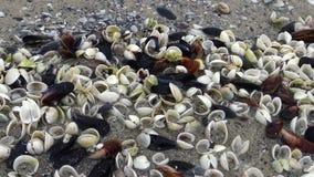 Anadara inaequivalvis - tvåskaligt skaldjurblötdjur, en angripare i Blacket Sea, invasive art stock video