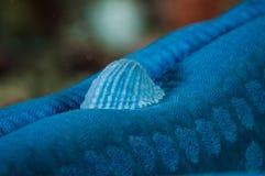 Anadara-zweischalige Muschel am Linckia-laevigata Seestern/an den Sternfischen in Gorontalo, Indonesien-Unterwasserfoto Lizenzfreie Stockfotos