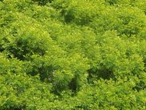 Anadenanthera Stock Foto's