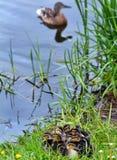 Anadones de la primavera en la charca fotos de archivo