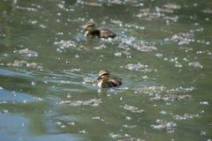 Anadones del pato del pato silvestre Fotografía de archivo