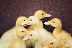 Anadones divertidos amarillos del bebé del grupo pequeños fotos de archivo libres de regalías
