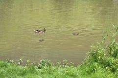 Anadones en el agua con su pato de la madre foto de archivo