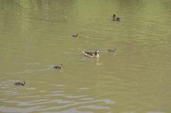 Anadones en el agua con su pato de la madre imágenes de archivo libres de regalías