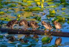 Anadones en el lago Washington, Washington State imagenes de archivo