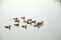 Anadones en el río Imagen de archivo