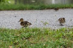 Anadones en la tierra - pato silvestre imágenes de archivo libres de regalías