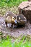 Anadones jovenes del pato silvestre que se colocan en hierba Foto de archivo