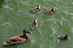 Anadones lindos que siguen a la madre, lago, equipo de siguiente del armónico del retrato animal pacífico figurado simbólico de l fotografía de archivo libre de regalías