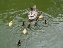 Anadones y madre del pato silvestre Fotografía de archivo libre de regalías