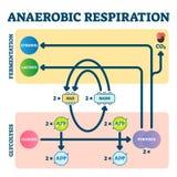 Anaerobic respiration vector illustration. Glycolysis and fermentation scheme