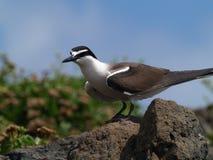 anaethetus взнуздало terns грудин Стоковое Изображение