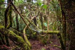 Anaga forest in Tenerife island, Canary islands, Spain. Stock Photography