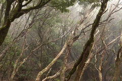 Anaga rain Forest in Tenerife Royalty Free Stock Images