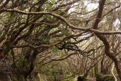 Anaga rain Forest in Tenerife Stock Image