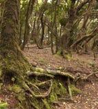 Anaga-Regen Wald in Teneriffa stockfotos