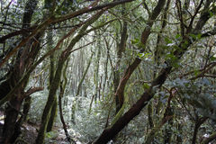 Anaga Rural Park - rare evergreen ancient laurel forest on Tener Royalty Free Stock Images
