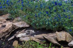 Anagallis is een soort van ongeveer 20-25 species van bloeiende installaties Stock Afbeeldingen