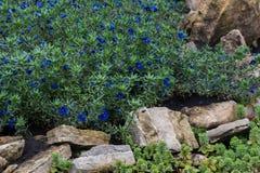 Anagallis is een soort van ongeveer 20-25 species van bloeiende installaties Royalty-vrije Stock Foto's