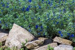Anagallis is een soort van ongeveer 20-25 species van bloeiende installaties Stock Foto