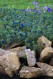 Anagallis is een soort van ongeveer 20-25 species van bloeiende installaties Royalty-vrije Stock Fotografie