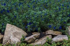 Anagallis is een soort van ongeveer 20-25 species van bloeiende installaties Stock Foto's