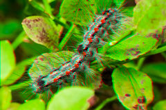 Anaglyph 3D picture. Gypsy moth - haired caterpillar (Lymantria dispar) royalty free stock image