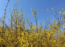 Anagroides di maggiociondolo della catena dorata Immagini Stock Libere da Diritti