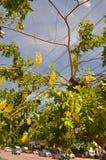 Anagyroides di maggiociondolo dell'albero della catena dorata Immagine Stock