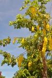 Anagyroides di maggiociondolo dell'albero della catena dorata Fotografia Stock Libera da Diritti