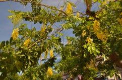 Anagyroides di maggiociondolo dell'albero della catena dorata Immagini Stock Libere da Diritti