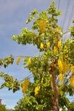 Anagyroides di maggiociondolo dell'albero della catena dorata Fotografie Stock